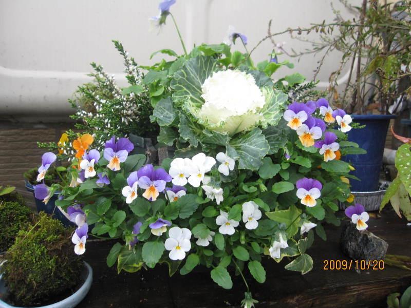 ビオラ (植物)の画像 p1_38
